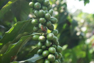 台灣咖啡X靜星咖啡園(咖啡小農,採全預約制)