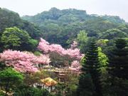 櫻花飄飄漫步遊