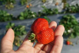 大湖觀光草莓園